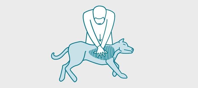 Comment faire un massage cardiaque sur un chien ou un chat ?